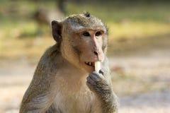 在Ankor Wat,柬埔寨附近的猴子 免版税库存照片