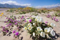 在Anza Borrego的野花 库存图片