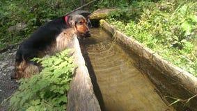 在Apuseni山的狗饮用水 免版税库存照片