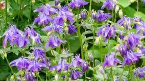 在aquilegia花的土蜂 影视素材