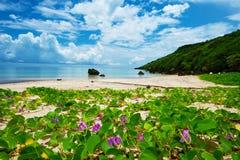 在ARAGUSUKU海岸番薯属观点扫描器caprae, O的海滩牵牛花 库存照片