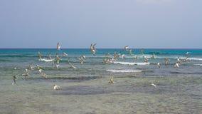 在Arashi海滩,阿鲁巴的飞行 鸟群在海的 库存照片