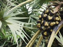 在Arecales棕榈树的亚洲扇叶树头榈棕榈树头梭果子 库存照片