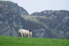 在Argyll小山农场的绵羊 免版税库存照片