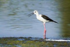 在Arugam海湾盐水湖,斯里兰卡染黑飞过的高跷 库存图片