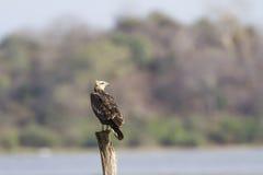 在Arugam海湾,斯里兰卡的白鼓起的海鹰 免版税库存照片