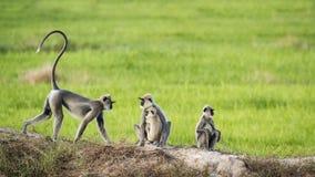 在Arugam海湾,斯里兰卡的装缨球灰色叶猴 免版税图库摄影