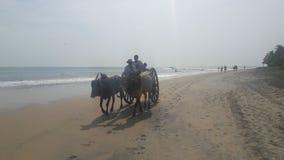 在Arugambay海滩斯里兰卡的公牛推车 免版税图库摄影
