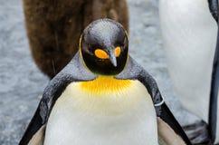 在Asahiyama动物园的企鹅 免版税图库摄影