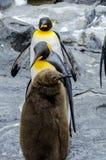 在Asahiyama动物园的企鹅 免版税库存照片