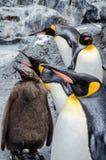 在Asahiyama动物园的企鹅 图库摄影