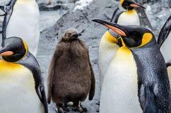 在Asahiyama动物园的企鹅 库存照片