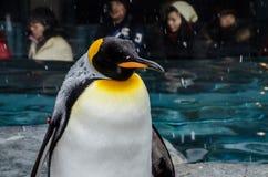 在Asahiyama动物园的企鹅 免版税库存图片