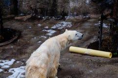 在Asahiyama动物园的北极熊 库存照片