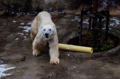 在Asahiyama动物园的北极熊 免版税库存图片