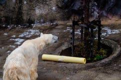 在Asahiyama动物园的北极熊 免版税库存照片