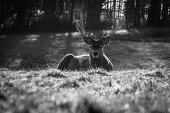 在Ashton法院,布里斯托尔(动物)的鹿 库存照片