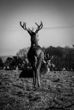 在Ashton法院,布里斯托尔(动物)的鹿 库存图片