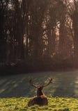 在Ashton法院,布里斯托尔(动物)的鹿 免版税库存图片
