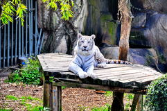 在Audubon动物园的白色老虎 库存照片