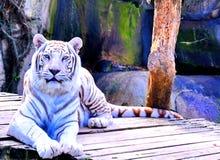 在Audubon动物园的白色老虎 库存图片