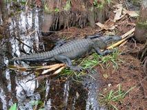 在Audubon拔塞螺旋沼泽圣所的鳄鱼 库存图片