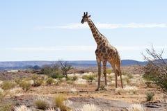 在Augrabies秋天的长颈鹿,北开普省,南非 免版税图库摄影