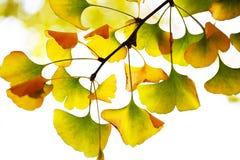 在Automn的黄色银杏树叶子 库存图片