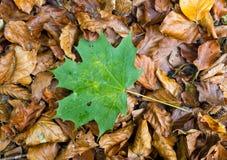 在autum叶子的唯一绿色事假 免版税库存图片