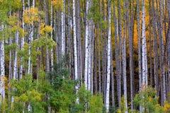 在autum的白色白杨木树 免版税图库摄影