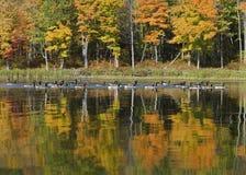 在Autumn湖的鹅 库存照片