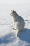 在awhite雪的空白猫 免版税库存照片