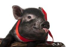 在backet的一头逗人喜爱的矮小的黑色猪 免版税库存照片