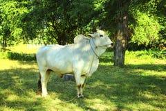 在Bagan,缅甸的缅甸白色灰色黄牛 免版税图库摄影