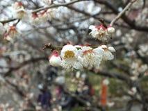 在Baien庭院的李子开花在静冈县,日本 库存照片