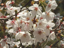 在Baien庭院的李子开花在静冈县,日本 免版税库存照片