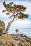在Baikal湖附近的偏僻的树 库存图片