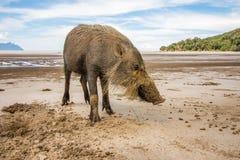 在Bako搜寻在沙子的食物,古晋,马来西亚,婆罗洲的国家公园海滩的Bornean有胡子的猪SU Barbatus 库存照片