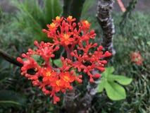 在Balatala庭院的花在马提尼克岛 免版税图库摄影