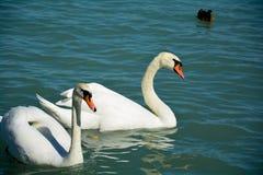在Balaton湖Siofok,匈牙利的两三只白色天鹅 库存照片