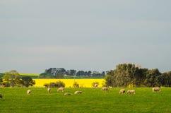 在Ballarat附近的油菜领域 免版税库存图片