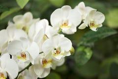 在banch的白色orhids在绿色背景 免版税库存图片