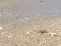 在bangsan的海滩的星鱼 免版税库存图片