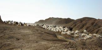 在Bardenas Reales沙漠西班牙的绵羊 库存图片