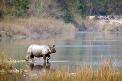 在Bardia国家公园,尼泊尔的更加伟大的一有角的犀牛 免版税库存图片