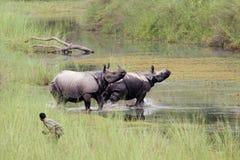 在Bardia国家公园,尼泊尔的更加伟大的一有角的犀牛 免版税库存照片