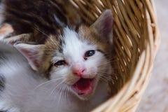 在basket#3的小猫 免版税库存照片
