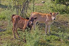 在Belgodere, N197 (Nebbio地区),可西嘉岛附近的幼小小牛 库存图片
