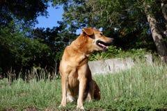在bequia的一条愉快的狗 免版税库存图片