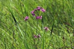 在Biebrza沼泽的美丽的紫色花 免版税库存照片